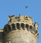 birds on a tower. part of the castle ruins