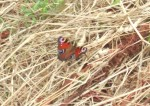 on site with us this beautiful peacock butterfly