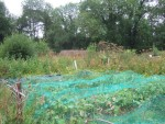 some netted crops in the walled garden