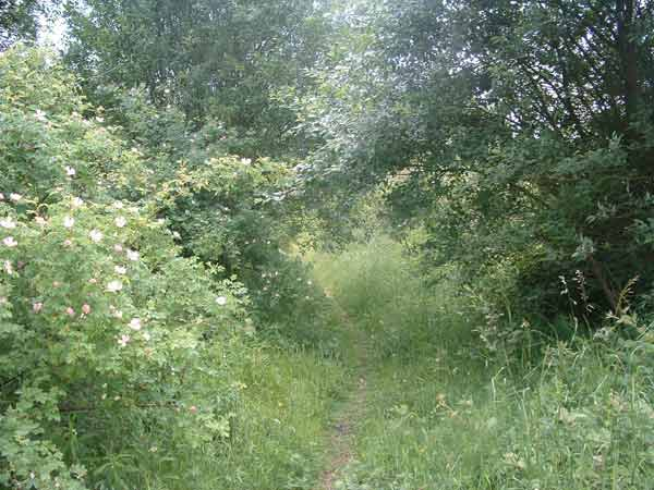 12. dog roses on the trackbed