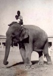 State elephant